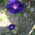 2008 08 31 Deux fleurs d'Ipomée