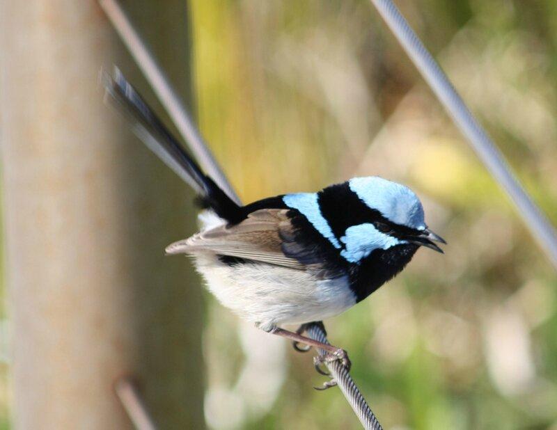 blue wren2
