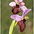 Ophrys de l'aveyron : ophrys aveyronensis