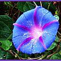 Ipomée bleue et rose avec gouttes d'eau au coeur