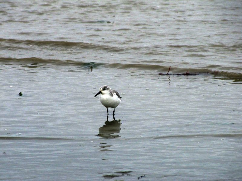Oiseaux ile de re foto Mo2 (37)-h1500