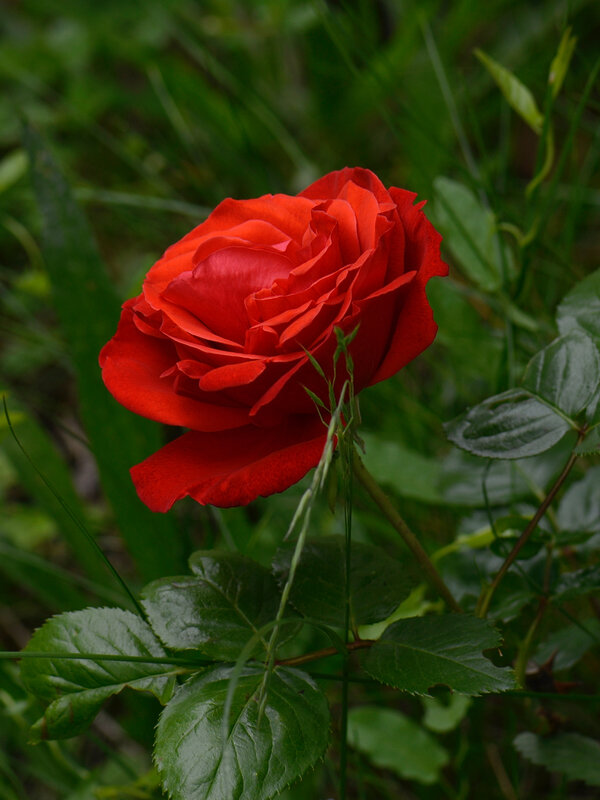 Rose rouge 17