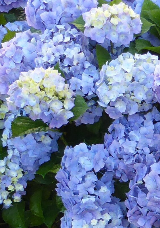 3-hortensia-potager ouest (3)