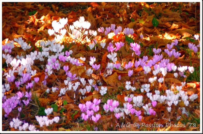 Cyclamens sauvages