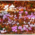 Cyclamens sauvages en forêt...