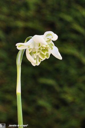Galanthus-nivalis-à-fleur-double