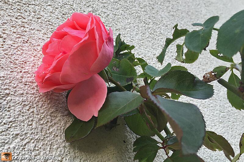 Rosa-Kimono