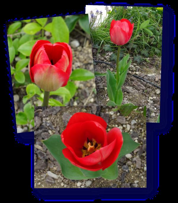 tulipe appeldoorn