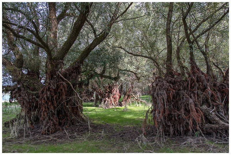 arbres saules