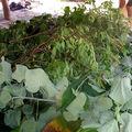 On couvre avec des feuilles de bananier et de basilic sauvage