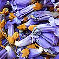 fleurs de paulownia