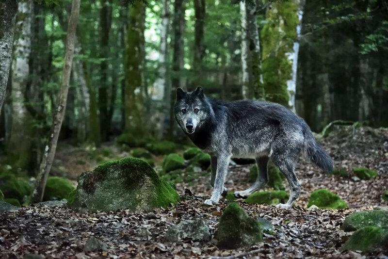 ariege-loups-003