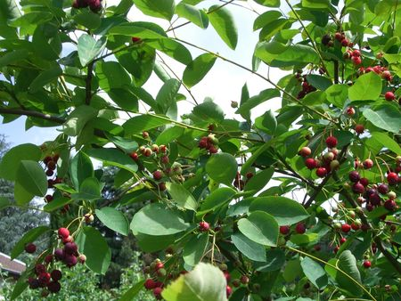 Petits fruits au jardin 007