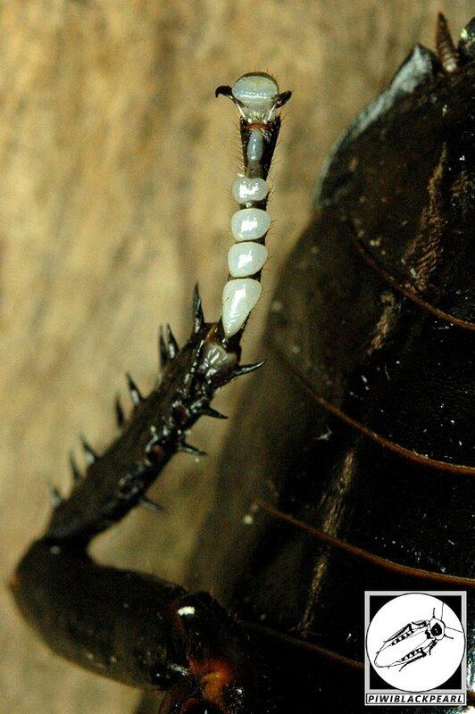 Gromphadorhina grandidieri patte dessous