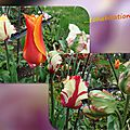 balanicole_2016_05_avril tulipes_61_cohabitation