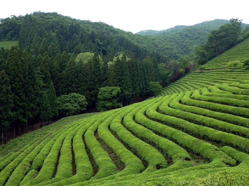 amazing-places-Fields-of-Tea-China1
