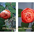 rosier lady emma hamilton rosier rose orangé roses anglaises
