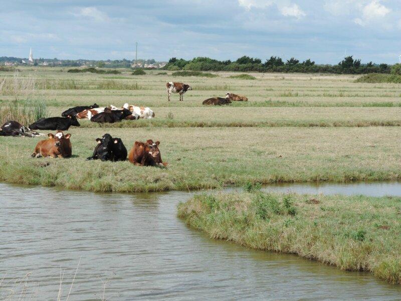 2014-08-09 Marais et vache vendéennes