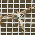Pterophoridae sp. 10