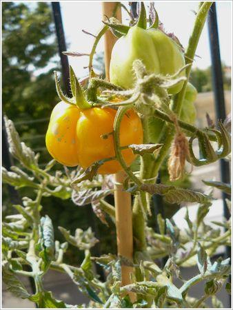 tomates_balcon_1_orange