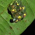 Hyalinobatrachium cappellei
