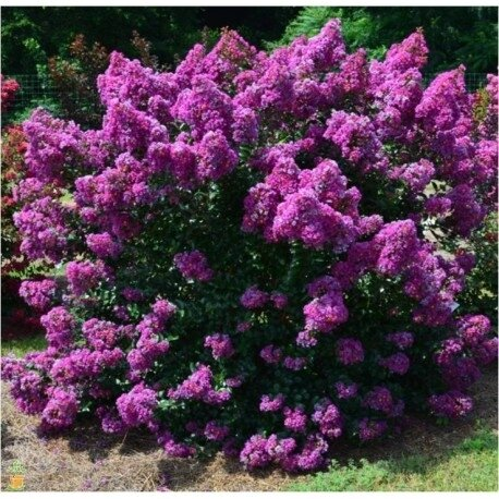 lilas-des-indes-rose