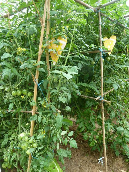 26-serre tomates (2)