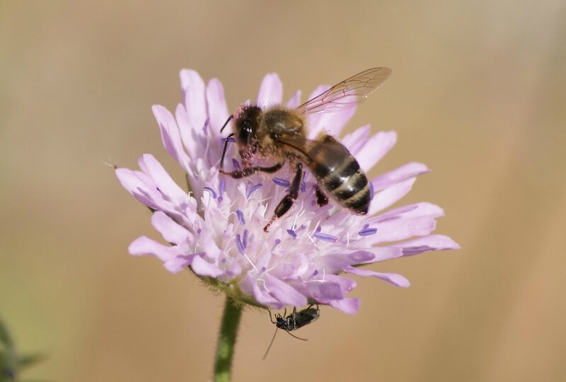 abeille- colletes succinctus 05