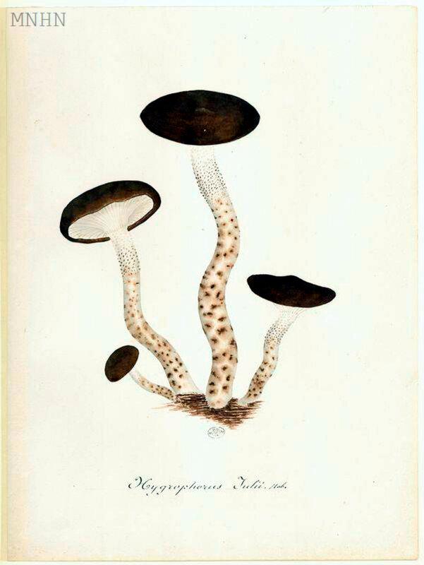 p 105 Hygrophorus Julii