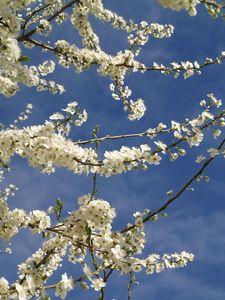prunus printemps3