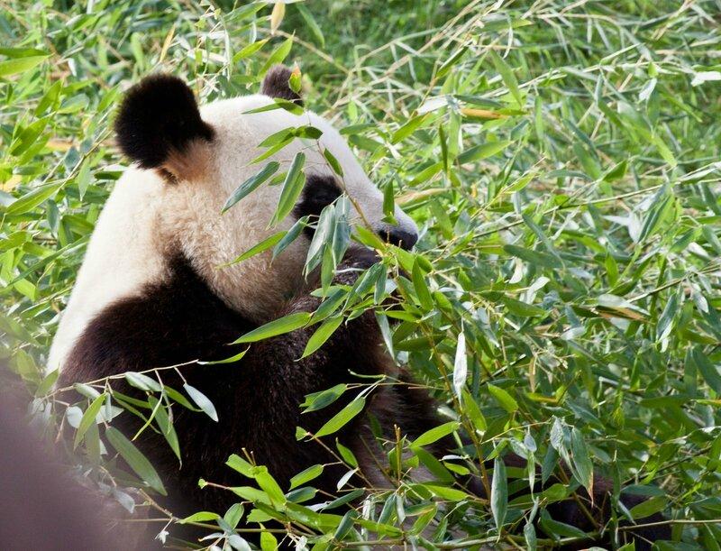 121-Panda Geant