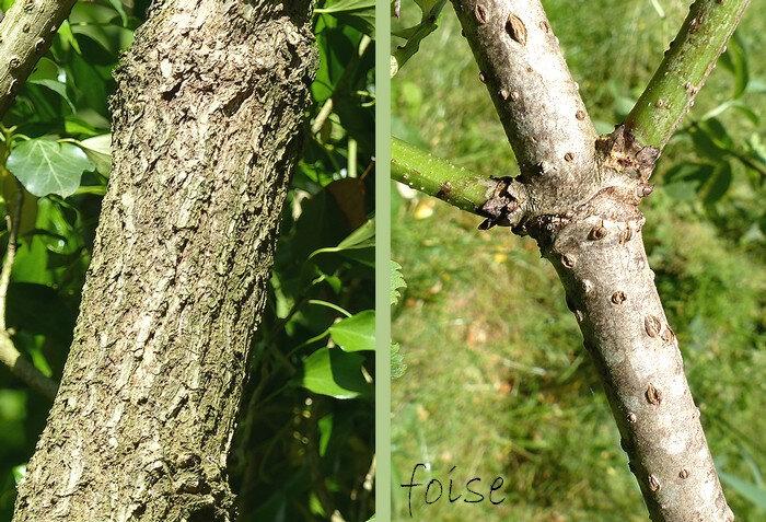 écorce vert-gris fissurée rameaux ligneux verruqueux