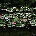 Le bassin aux nymphéas du jardin d'eau