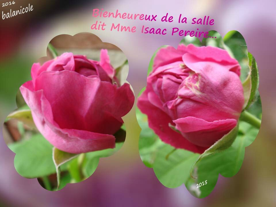 balanicole_2016_02_fevrier_rosiers1_29_isaac Pereire2