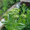 brocoli sauvage