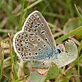 polyommatus_bellargus_3