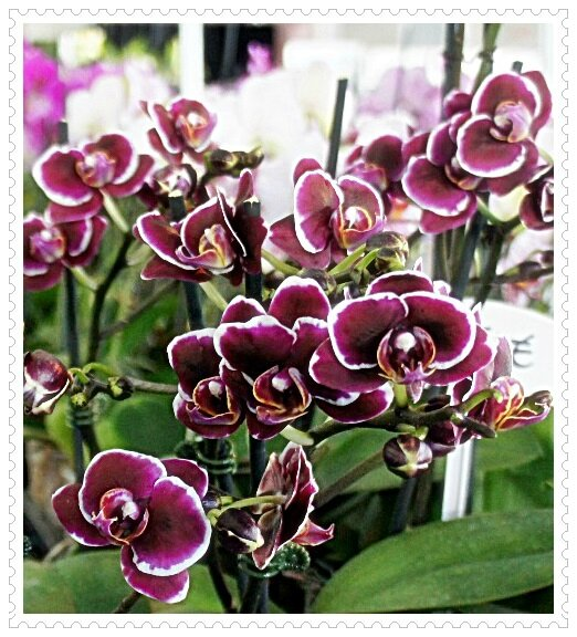 ORCHIDEES ROUGE SANG