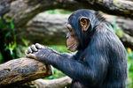 chimpanz_