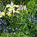 Iris sibirica 'butter and sugar', amsonia orientalis 'blue ice', geranium pratense 'ilja'