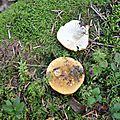 Russula ochroleuca (2)