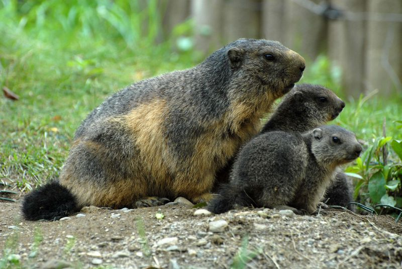 marmottes3