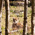 leopard parc des felins