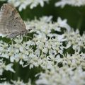 Papillon 700
