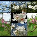 Les fleurs des arbres fruitiers...