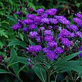 Vernonia arkansana 'mammuth'