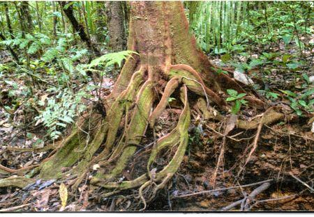 Les_mangroves_en_Guyane352