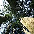 IMG_3352 troncs mutiples du thuya plicata