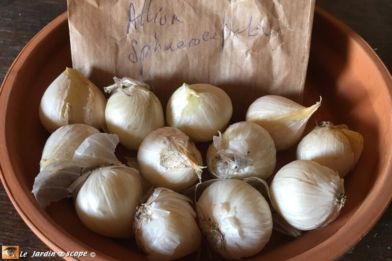 Allium-Schaerocephalum-bulbes