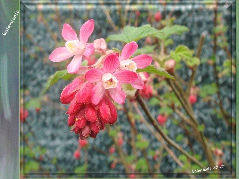 balanicole_2017_02_le printemps des arbustes_09_cassis fleurs