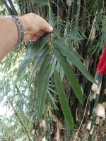 photo 38- ramule de 10 feuilles chez B aff rigida